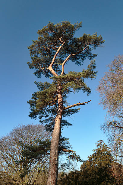 beautiful scots pine tree pinus sylvestris - whiteway stock photos and pictures
