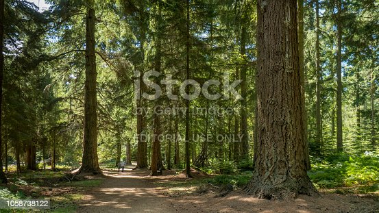 In new Forest one can find majestic conifers planted in the 1850s, some of the oldest Douglas fir trees in Britain. Includes views of two enormous redwoods.