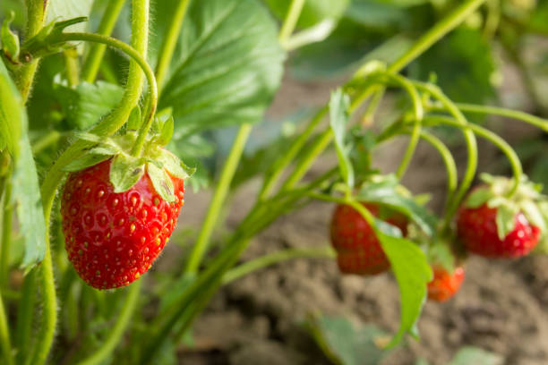 Very tasty strawberry. Strawberry crop. Red, juicy, bulk berry. Fragrant and most tasty berry. Very tasty strawberry. Strawberry crop. Red, juicy, bulk berry. Fragrant and most tasty berry. Food strawberry field stock pictures, royalty-free photos & images