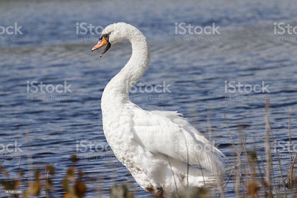 Very Vocal Mute Swan (Cygnus Olor) stock photo