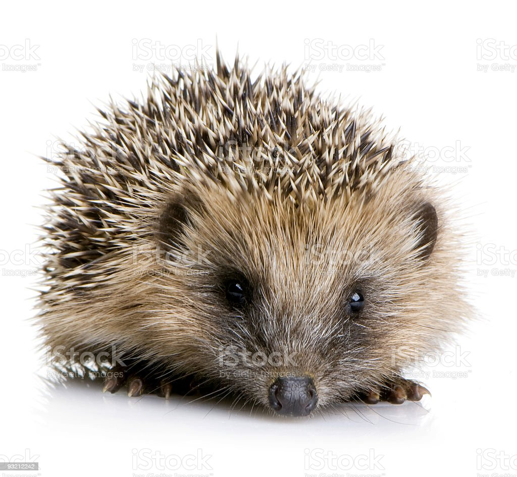 Very young baby hedgehog with brown and white spikes stock photo