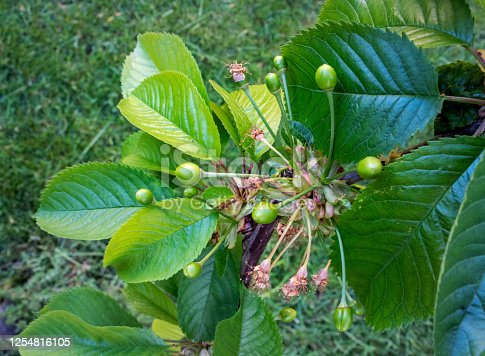 Very young green fruits of Sunburst cherry tree in Spring - seasonal Nature