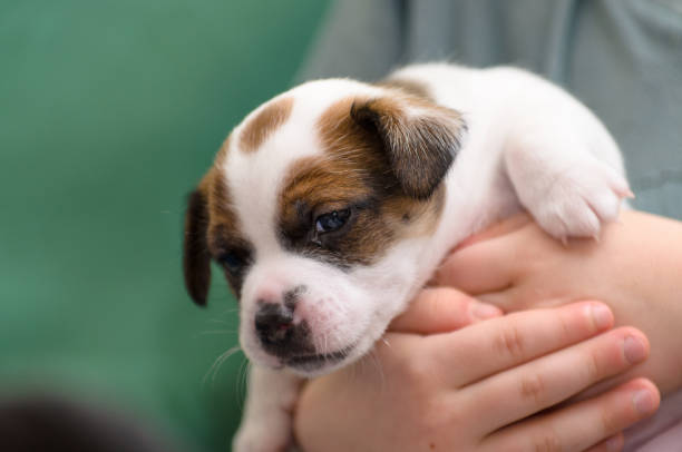 A very young jack russell terrier puppy dog held in the hands of a child.