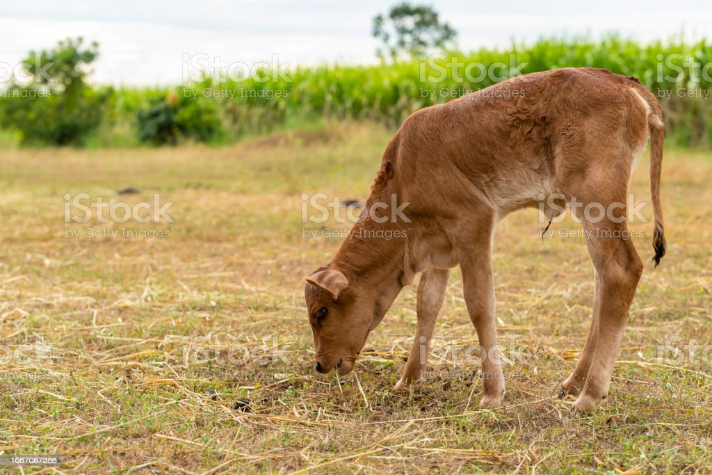 A very young male calf is chewing the grass stock photo
