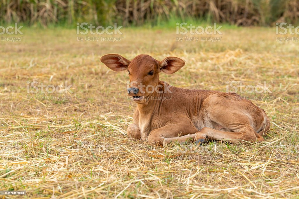 A very young male calf sitting on the grass stock photo