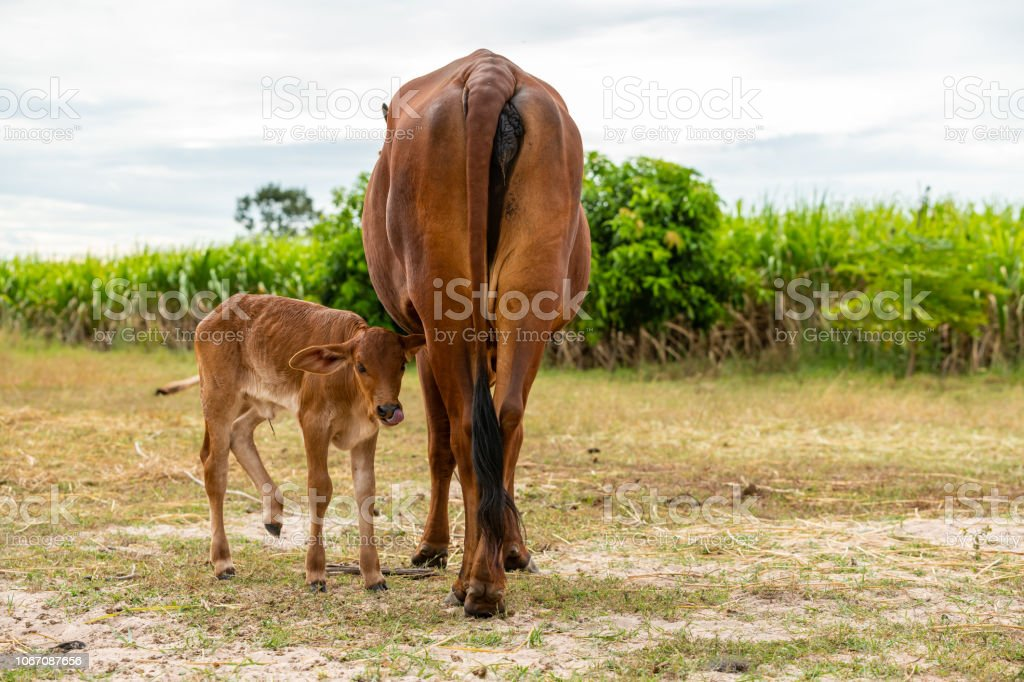 A very young male calf with a female cow isolated in the field stock photo