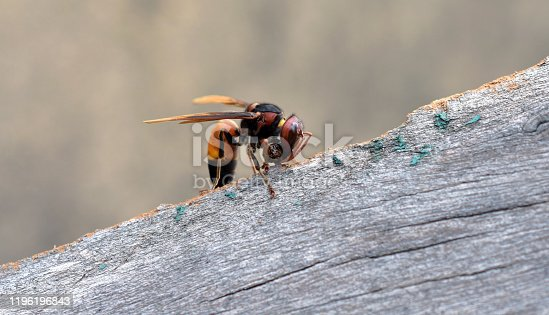 istock Vespa affinis (lesser banded hornet) strip bark from wood for use in building their nests 1196196843