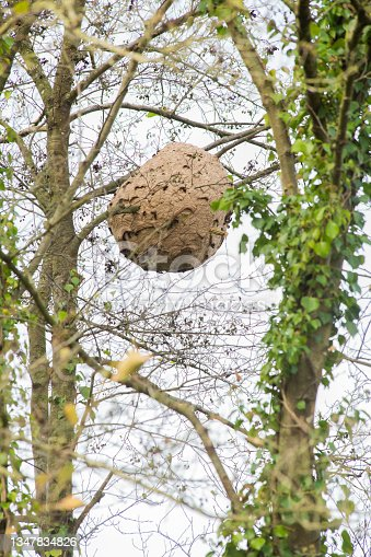 istock vespa velutina nest in a tree, an invasive species that harms honey bees and endangers the pollination of fruit trees. killer wasp 1347834826