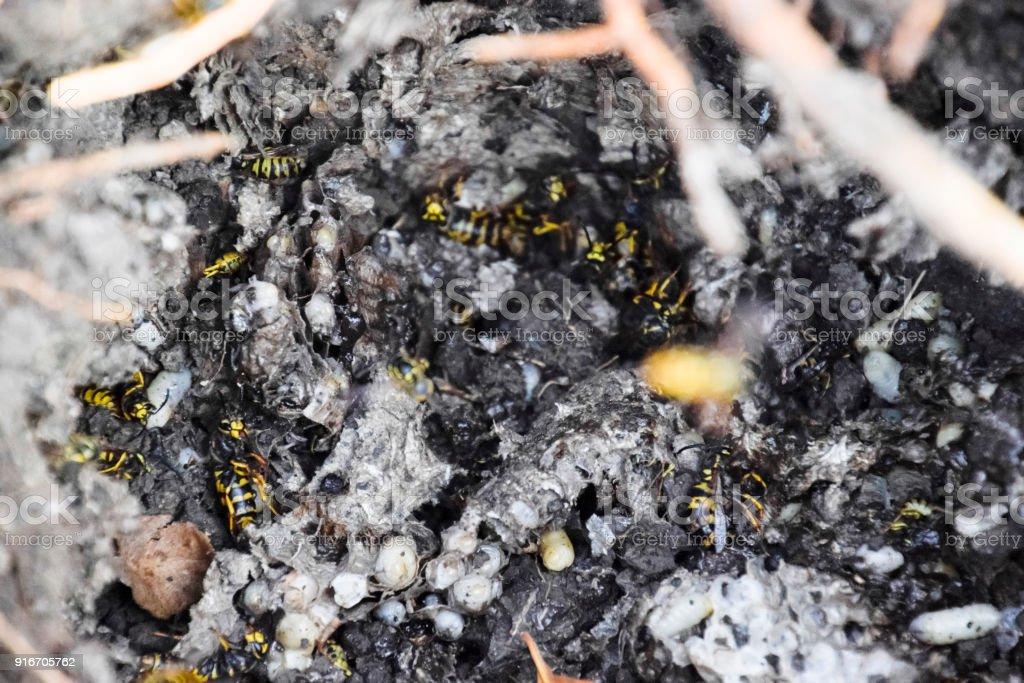 Vespula vulgaris. Destroyed hornet's nest. stock photo