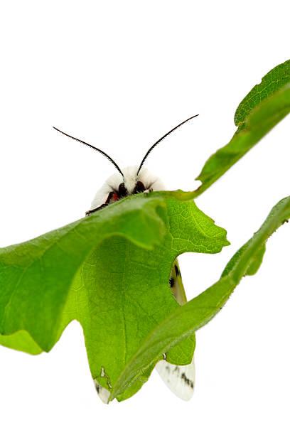 Vestal Bär-Schmetterling, Spilosoma vestalis – Foto