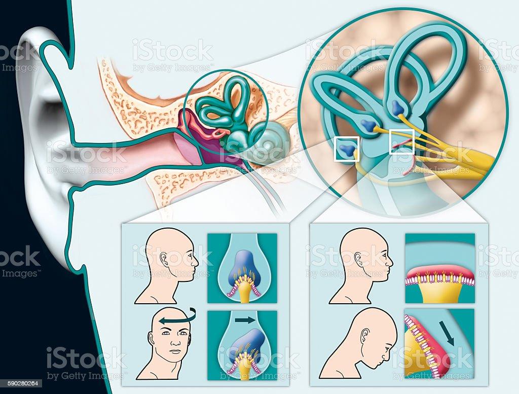 Vestibular system stock photo