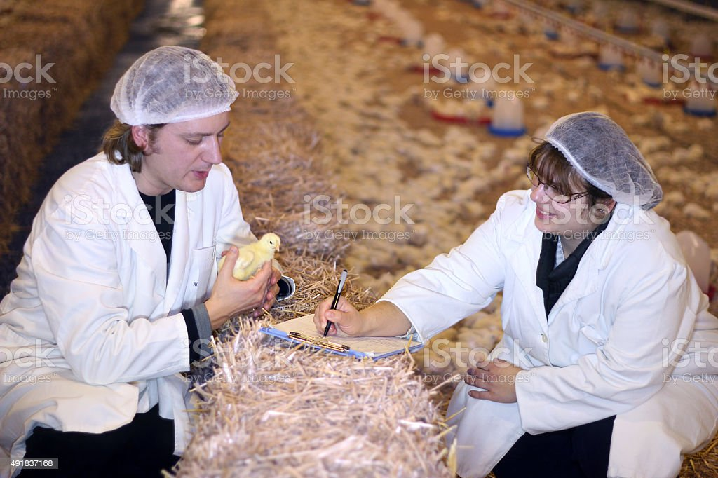 Vet and Farmer on Chicken Farm stock photo