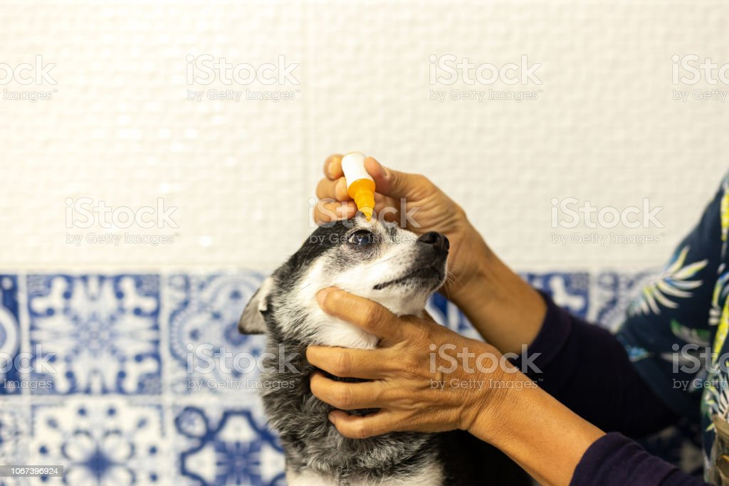 Vet applying antibiotic eye drops to chihuahua dog\'s eye