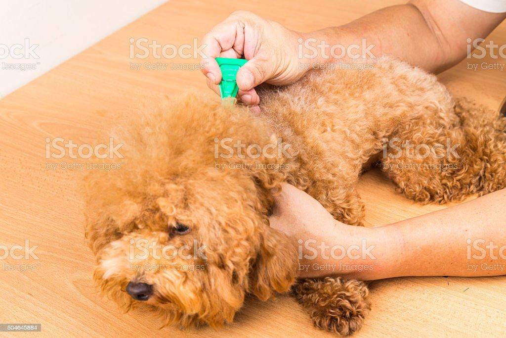 Vet applying ticks, lice and mites control medicine on dog stock photo