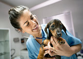 istock Vet at her clinic checking a baby dachshund's heart with a stethoscope while she smiles very happy 918369184