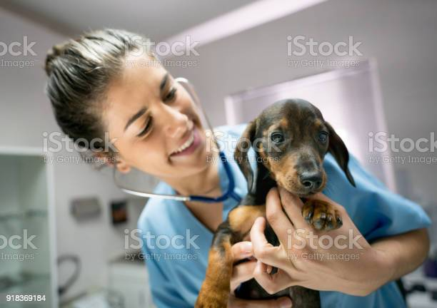 Vet at her clinic checking a baby dachshunds heart with a stethoscope picture id918369184?b=1&k=6&m=918369184&s=612x612&h=xgzndx04gr jywxgqkdzbkgi0vy66i1ly bufdldnwc=