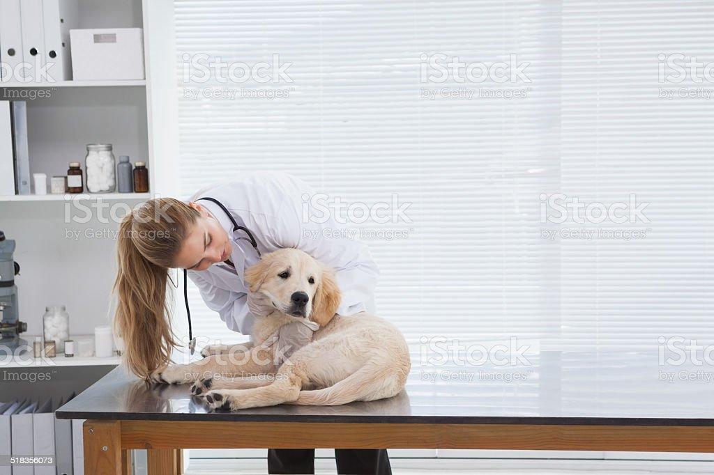 Vet checking a small dog stock photo
