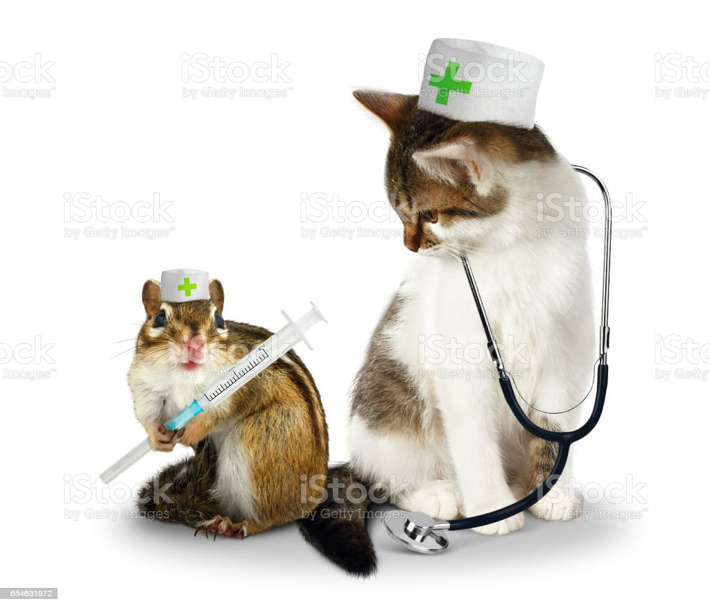 Vet concept, funny doctor chipmunk  and cat with phonendoscope and syringe on white stock photo