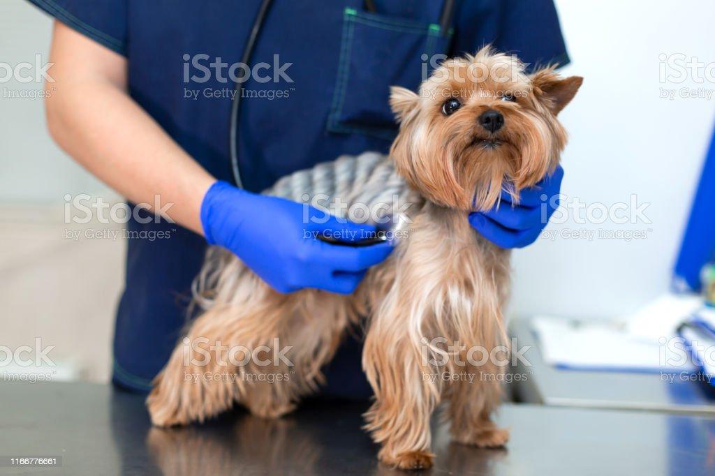 Vet doctor exam dog with phonendoscope. Pet medicine concept. Dog...