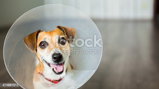 Close up portrait of funny Dog Jack Russell terrier sitting with vet plastic Elizabethan Collar