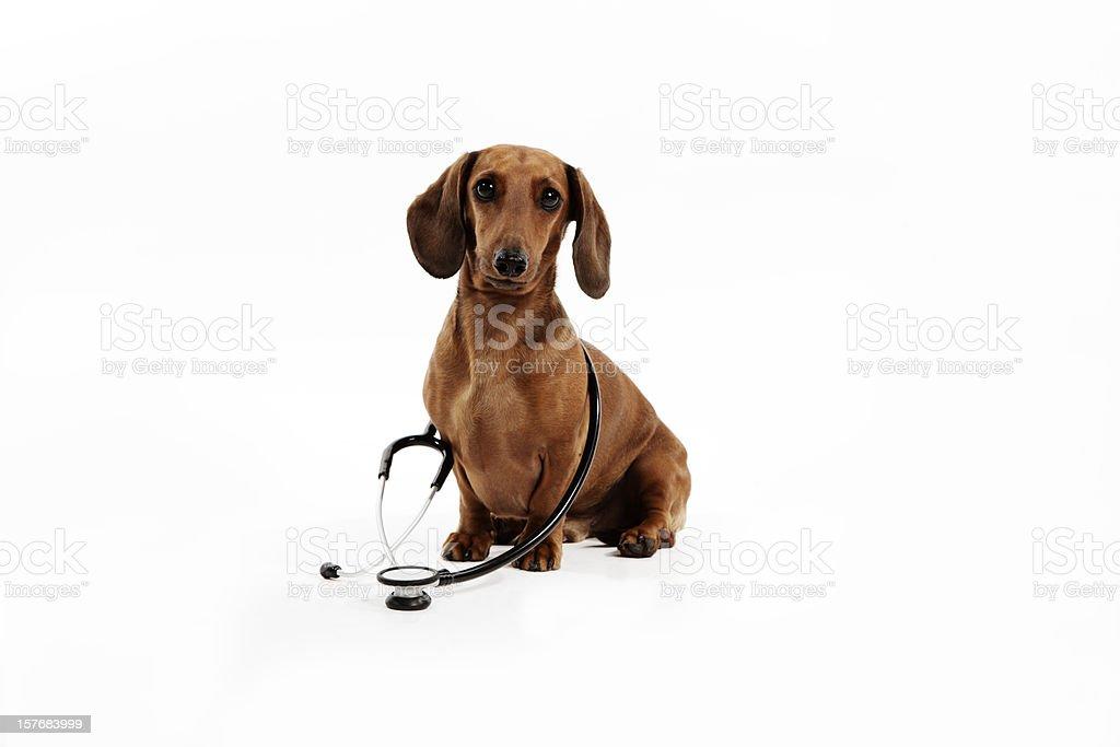 Medico Veterinario Con Cane Bassotto Fotografie Stock E Altre