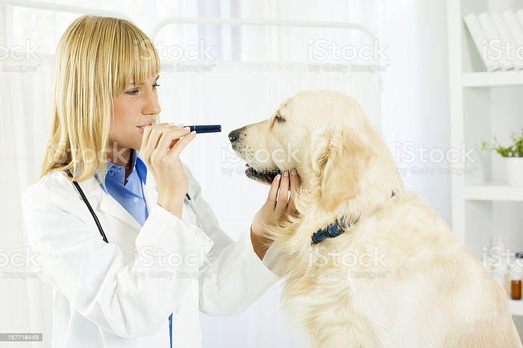 Vet Doing An Eye Exam to dog. stock photo