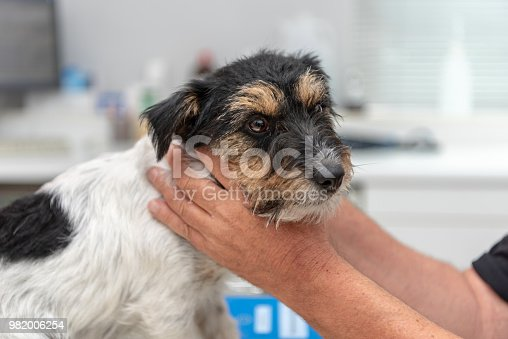 istock Vet examines a dog - Jack Russell Terrier 982006254
