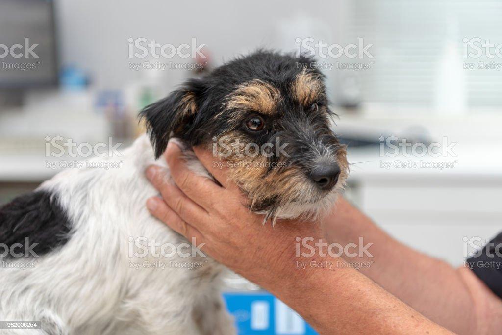 Tierarzt untersucht eine Hund - Jack Russell Terrier – Foto