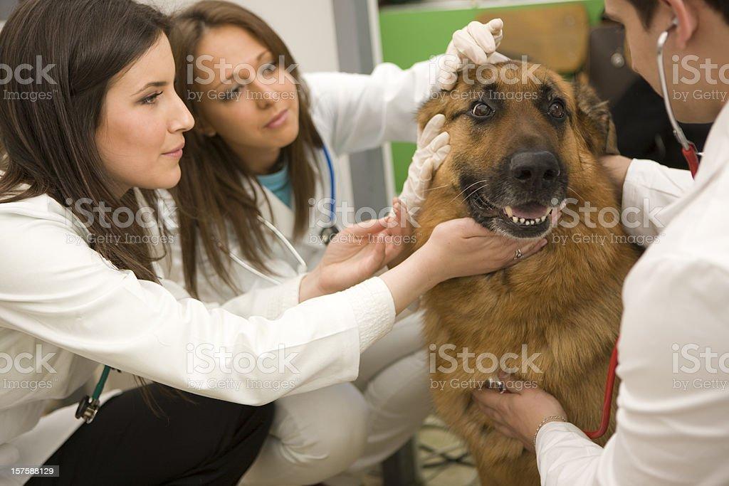 Vet examinig german shepherd royalty-free stock photo