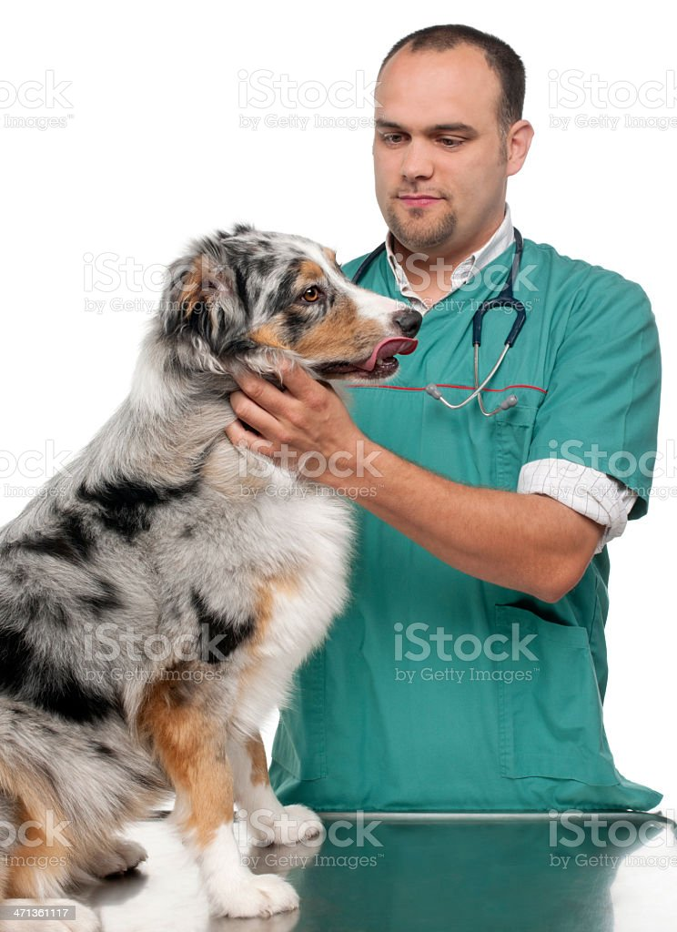 Vet examining an Australian Shepherd stock photo