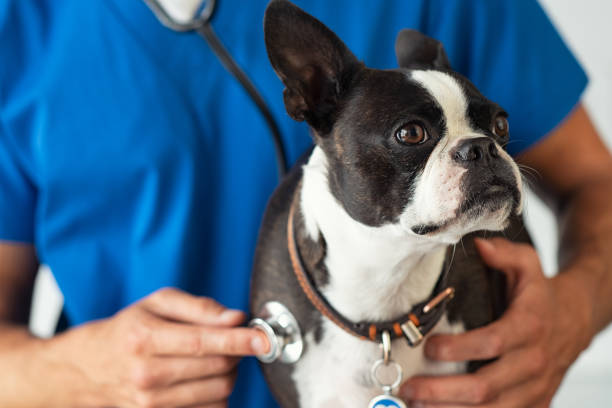 Vet examining little dog with stethoscope Boston Terrier dog being examined by a vet using stethoscope. Professional veterinarian examining his patient cute puppy. Closeup of hand using a stethoscope on a puppy. animal stage stock pictures, royalty-free photos & images