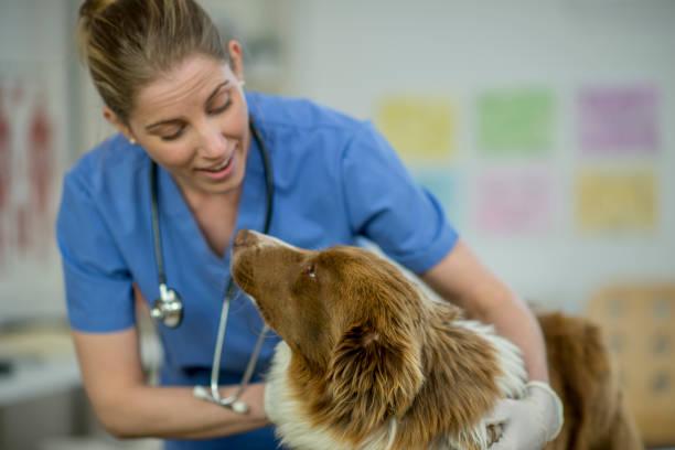 Vet giving a dog a checkup picture id921077820?b=1&k=6&m=921077820&s=612x612&w=0&h=hoxhdybfbtpuydnx1ehoy1b98n7cof03xjcawhd2yqa=