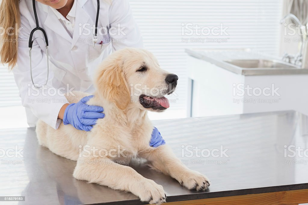 Vet giving dog a check up stock photo
