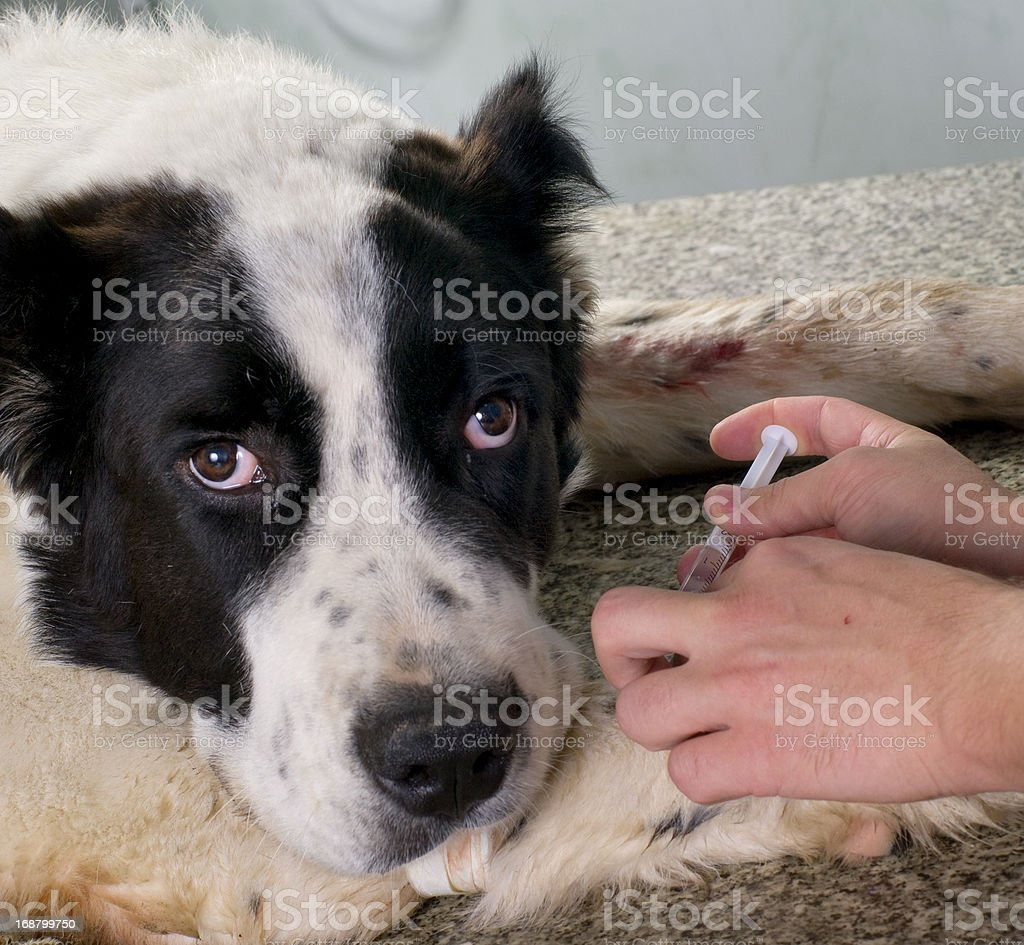 Vet giving injection to the dog royalty-free stock photo
