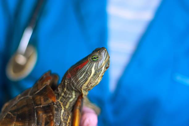 vet holding a turtle close-up - organizm wodny zdjęcia i obrazy z banku zdjęć
