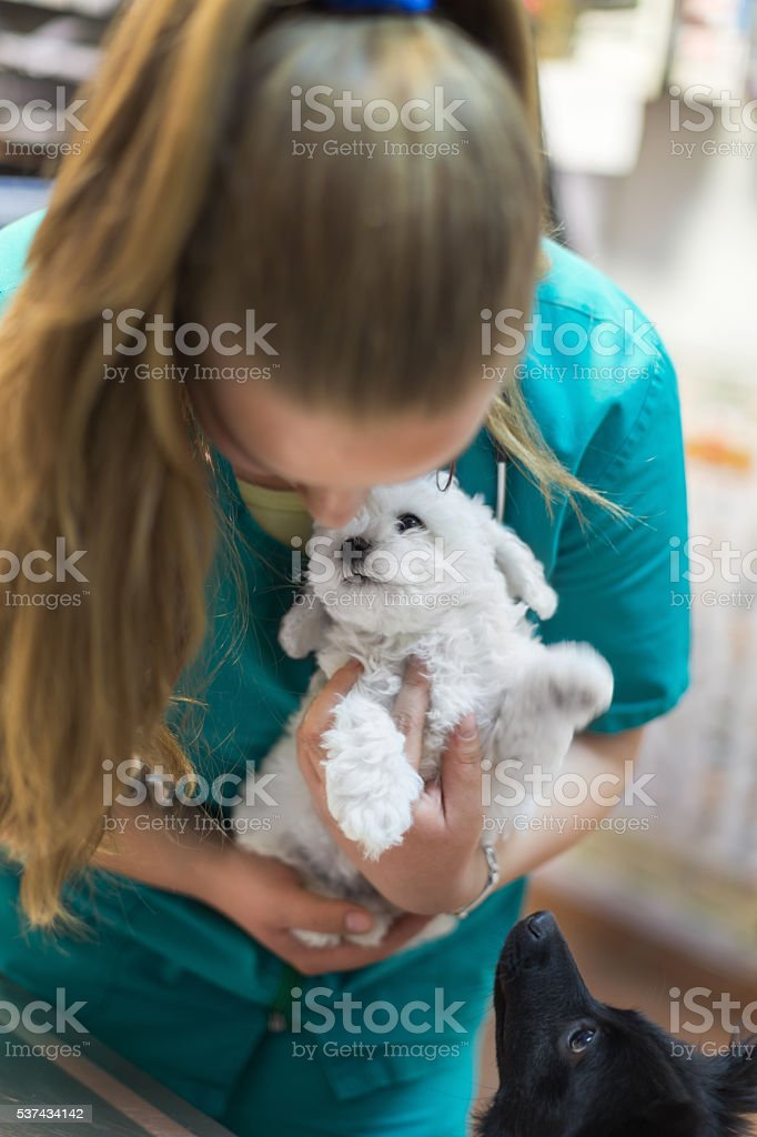 Vet holding cute bichon puppy stock photo