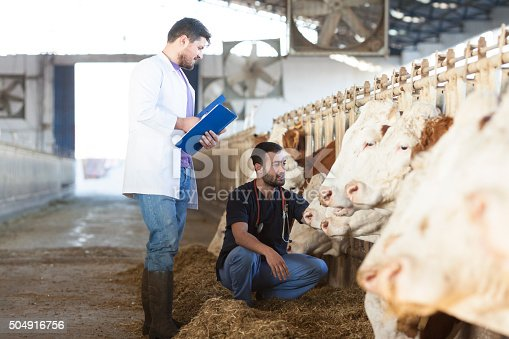 Vet working in the simmental cows barn
