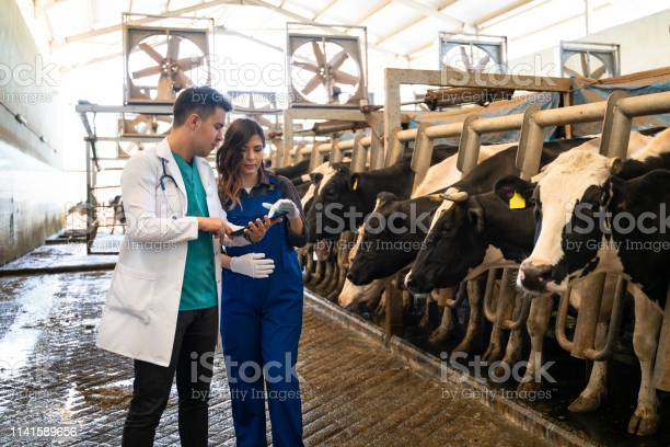 Vet inspecting cattle whilst they are being milked picture id1141589656?b=1&k=6&m=1141589656&s=612x612&h=ssfso 44mwub begkb3at8henl6wb ctknpcg1mhdv8=