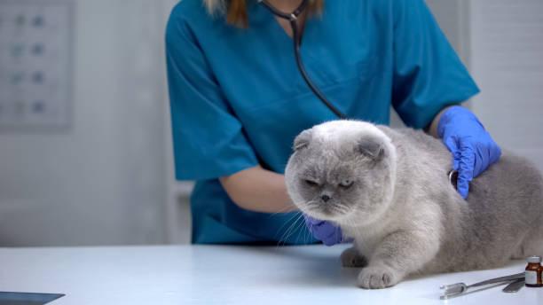 tierarzt hören katze magen mit stethoskop, risiko von haarball, lungenerkrankung - whisky test stock-fotos und bilder