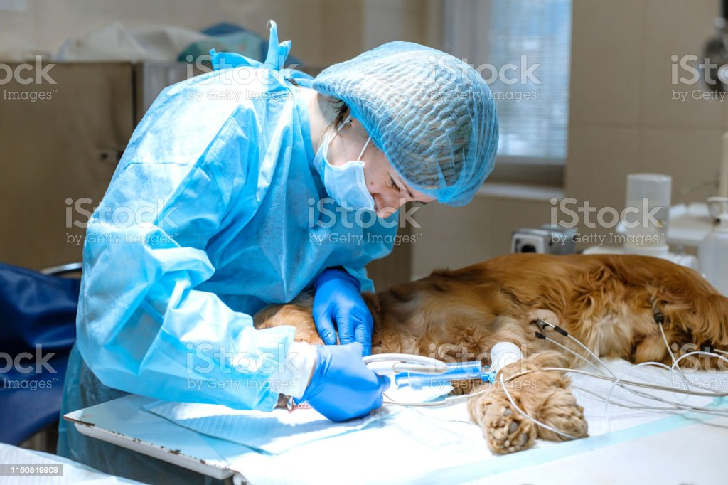 A vet surgeon brushes his dog\'s teeth under anesthesia on the...