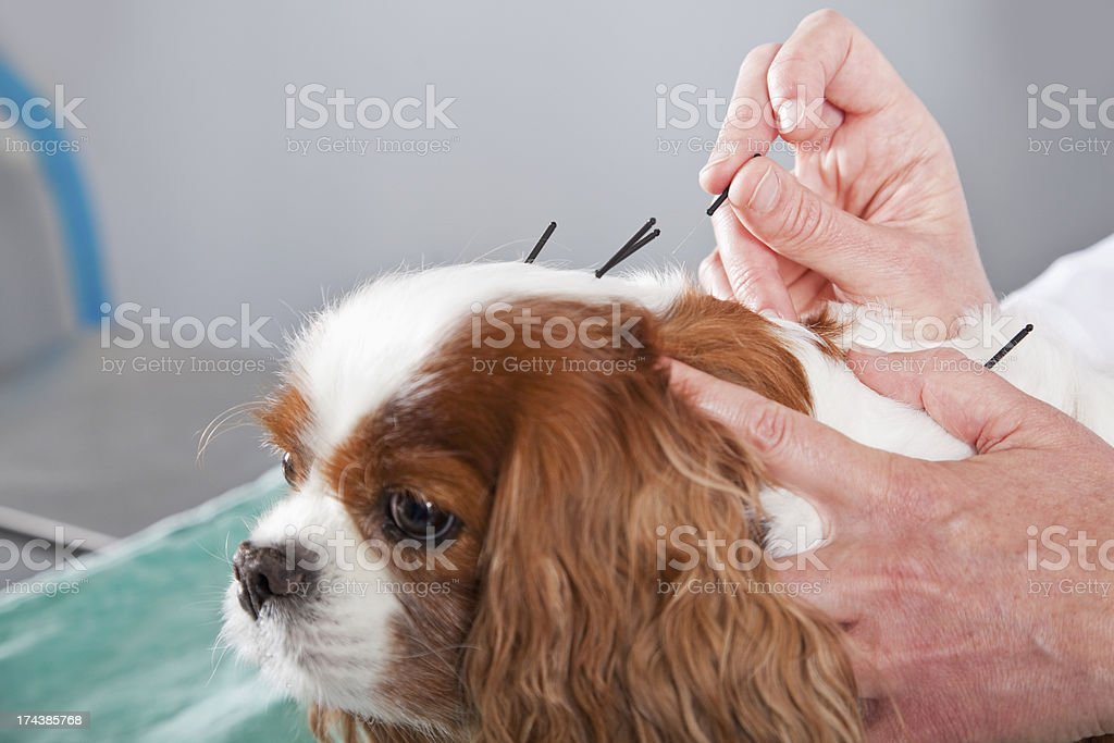 Vet treating dog with acupuncture​​​ foto