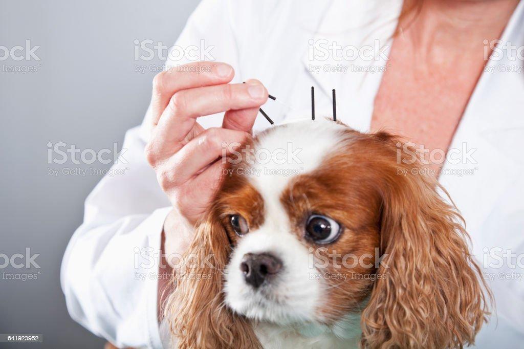 Tierarzt Behandlung Hund mit Akupunktur – Foto