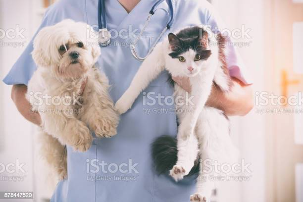 Vet with dog and cat picture id878447520?b=1&k=6&m=878447520&s=612x612&h= zbwbzcsnwpspkoe6xocylq yael5csyum3qfoyvgpi=