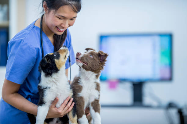 Vet With Two Border Collies stock photo