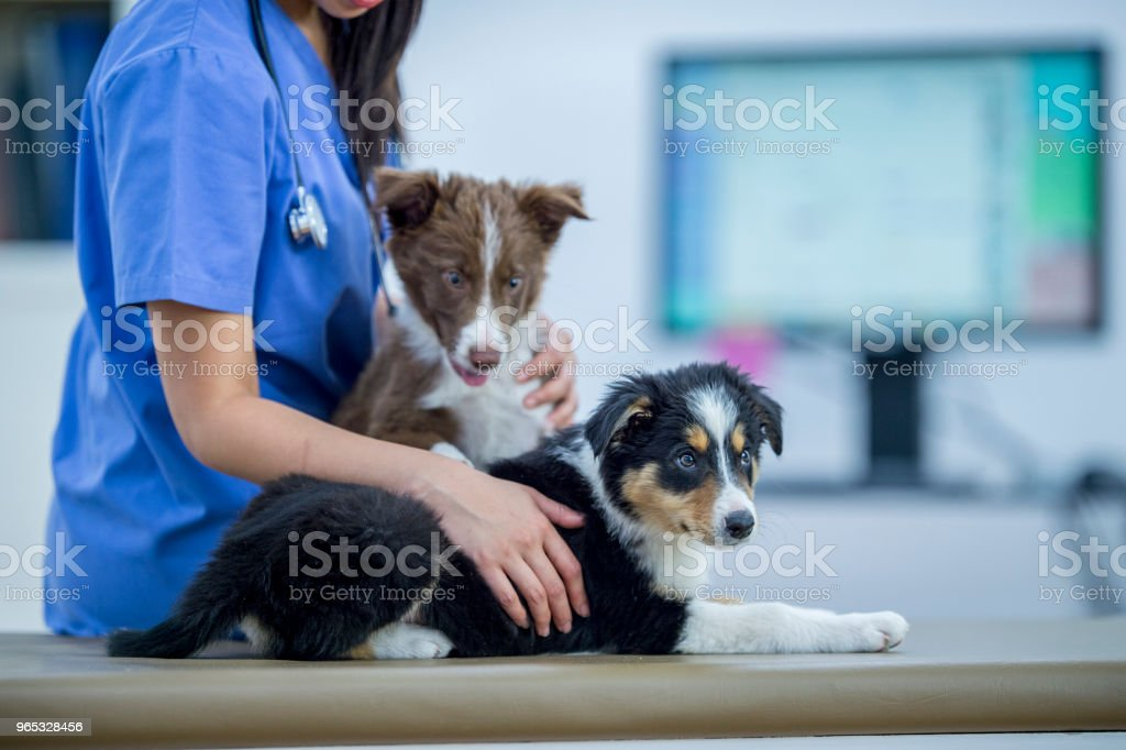 Vet With Two Puppies royalty-free stock photo