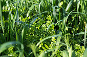 istock Vetch and oats as cover crops. Green manure crops 1278788218