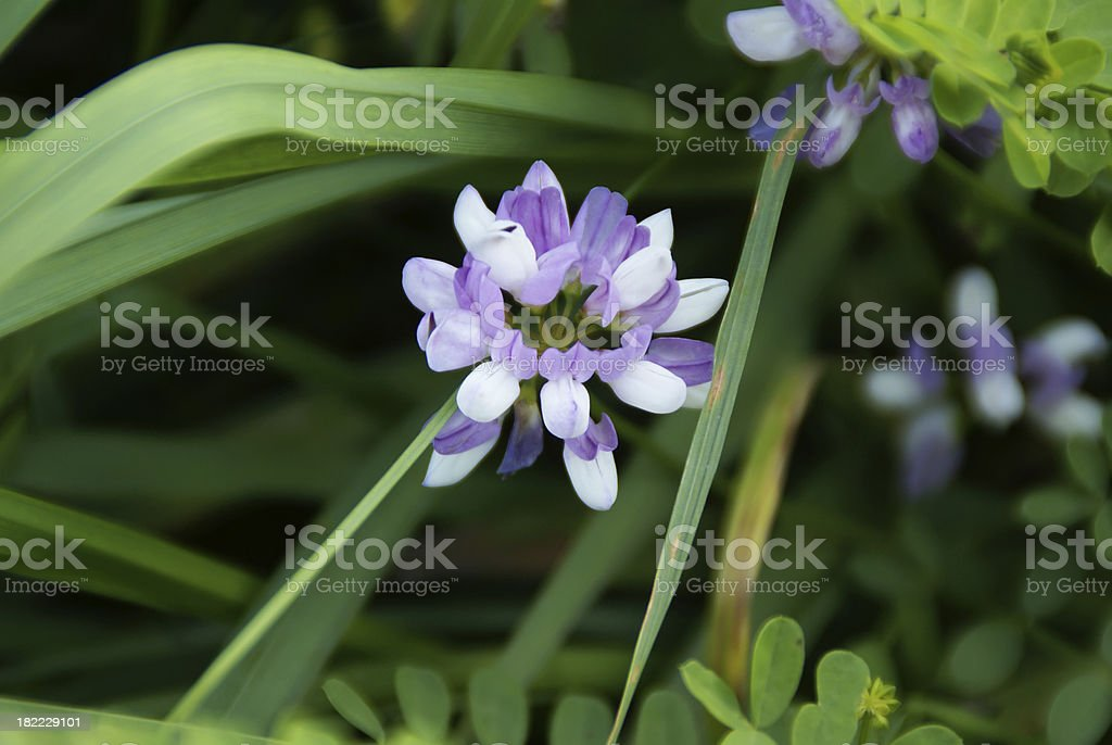 Vetch blooming stock photo