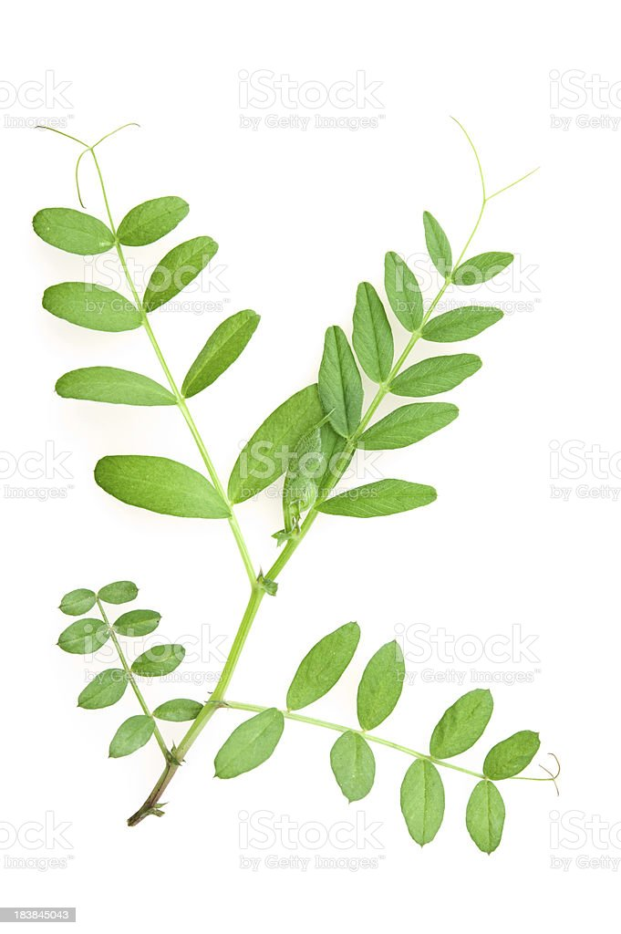 Vetch leaves stock photo
