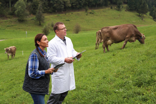 Tierärztin und Landwirtin, die Vieh auf der Weide kontrolliert – Foto