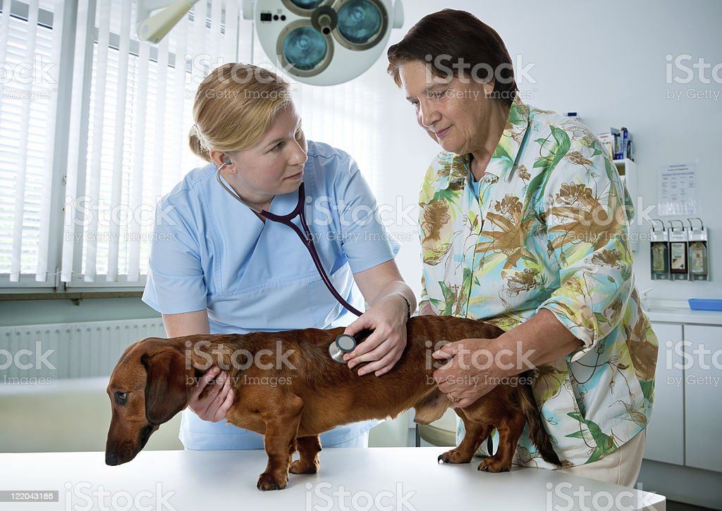 A veterinarian and her assistant are examining a dog stock photo